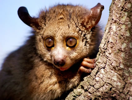 Africn Bushbaby orphan on a volunteer Africa conservation holiday.