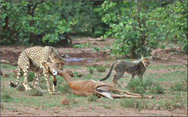 Cheetah kills impala for her cubs, observed on an African conservation holiday.