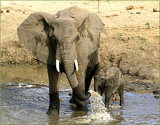 African Elephants, African Safaris in East Africa and Southern Africa.