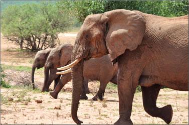 Elephants walking, Botswana wildlife volunteer travel in Tuli Wilderness.