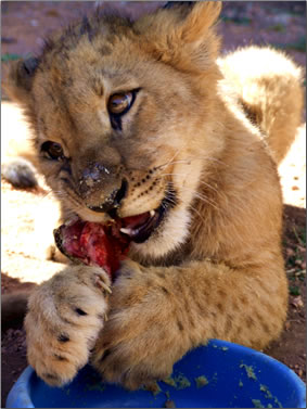 Lion cub's first meal of meat, South Africa wildlife volunteer vacations.