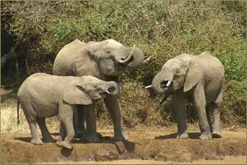 Authentic Tanzania African safari with elephants on safari holidays.