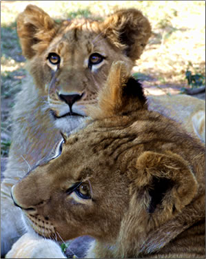 African lion cubs, South Africa wildlife volunteer vacations.