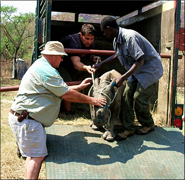 Orphan rhino arrives by truck at South African Wildlife Conservation Centre.