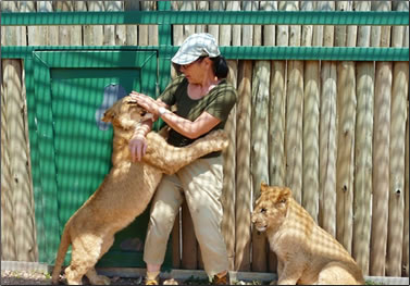 Wildlife conservation volunteer with lion cubs.