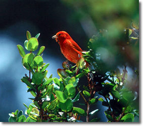 photo of Hawaii Akepa bird by nature photographer, Jack Jeffrey