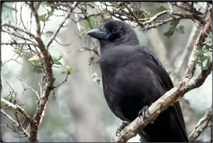Endangered Hawaiian crow, Alala, creates memorable bird pictures.