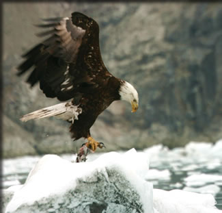 Bald eagle in Glacier Bay National Park: top cruises for bird watchers.