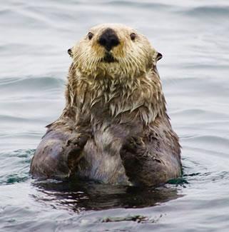 Sea otter in Inside Passage waters near Sitka, Alaska.