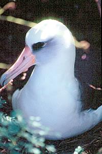 Laysan albatross have a 13 foot wingspan.