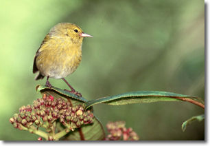 photo of tiny Hawaiian honeycreeper or Anianiau by nature photographer Jack Jeffrey