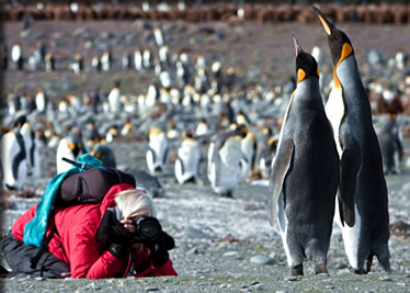 Emperor penguins on South Georgia Island, Antarctica: bird viewing small ship cruises.