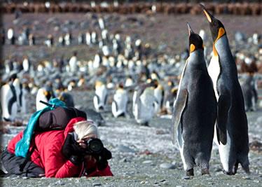Emperor penguins on South Georgia Island, Antarctica: bird viewing small ship cruises.
