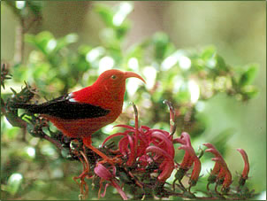 Iiwi is one of Hawaii's most endangered birds.