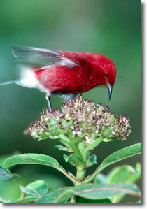 photo of Hawaiian Honeycreeper, Apapane, by bird photographer, Jack Jeffrey