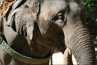 Asian elephant at an entertainment venue in Asia.