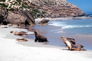 Australian Sea Lions on Kangaroo Island.