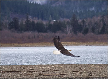 Bald eagle flies over the Harrison River, BC bird watching wildlife vacations.