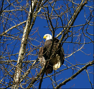 A Bald Eagle Flies Over The Harrison River Mills British Columbia Wednesday Nov 21 2016 Every Year Eagles Arrive In Fraser