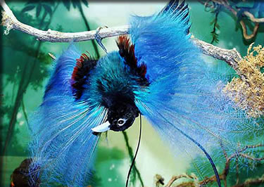 Blue Bird of Paradise, Papua New Guinea: best cruises for nature lovers.