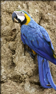 Macaw at clay lick on upper Amazon River: top cruises for bird watchers.