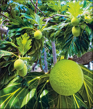 The Botanic Gardens, St Vincent: Caribbean botanical gardens photos.