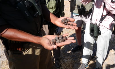 Comparison of Zebra and Antelope dung on a walking safari in Botswana.
