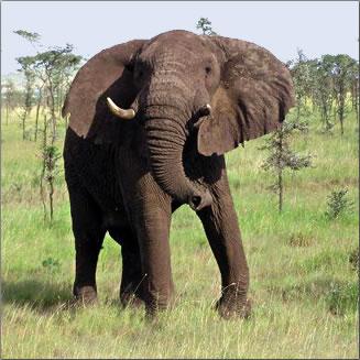 African Bush Elephant in Botswana's Okavango Delta.