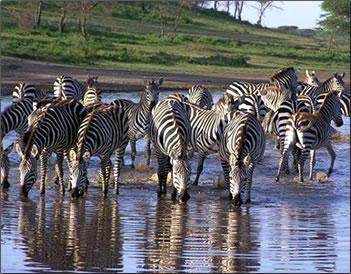 Herd of zebra drinking in Okavango Delta, Botswana.