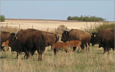 Buffalo Adventures offer nature, archaeological digs and history tours around east central Alberta, Canada.
