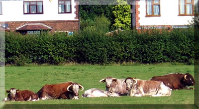 Herd of English Longhorn cattle at the side of an English canal.