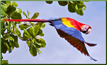 Scarlet Macaw, Costa Rica's best parks for nature viewing.