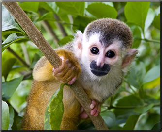 Squirrel monkey, Costa Rica's best parks for nature viewing.