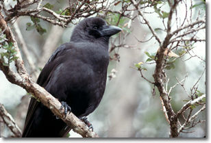 photo of critically endangered Hawaiian crow, Alala, by nature photographer, Jack Jeffrey