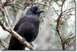 photo of critically endangered Hawaiian crow, Alala, by nature photographer, Jack Jeffrey
