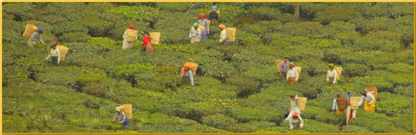 Article about volunteering in India tea estate.