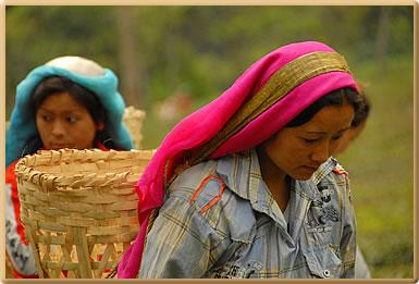Women tea pickers: Volunteer Holidays on Darjeeling, India Tea Estate.