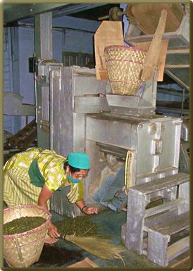 Tea processing on Darjeeling tea estate: international volunteers welcome.