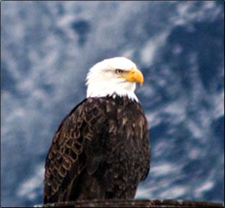 Bald eagle, British Columbia Eagle Watching Holidays.
