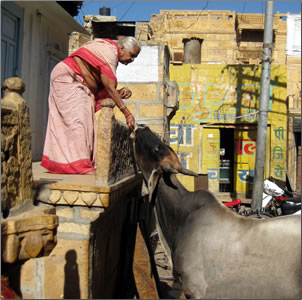 Sacred cows in India, new experiences travel.