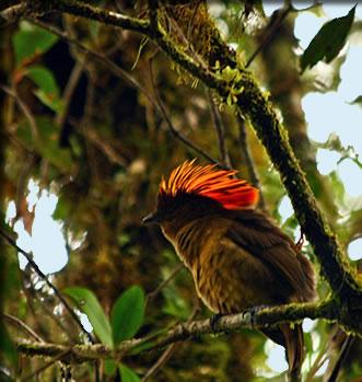 Fire-maned Bowerbird, Papua New Guinea: bird viewing small ship cruises.