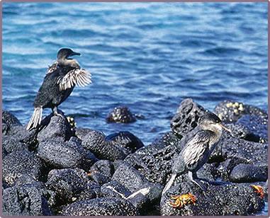 Flightless Cormorant, Galapagos Islands birds and nature.