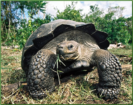 Galapagos Giant Tortoise, Galapagos Islands wildlife tours.