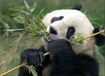 Giant Pandas conservation holidays in China, volunteer vacations for nature that make a difference.