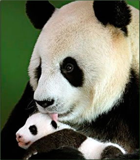Giant Panda mother and cub: Volunteer nature travel in China.