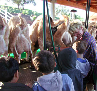 Surfing Goat Dairy, a part of Maui's Upcountry Agri-Tourism.