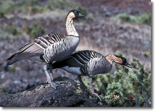 photo of Nene or Hawaiian Goose by nature photographer, Jack Jeffrey