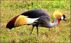 Grey Crowned Crane, Botswana.