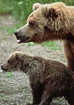 Grizzly bear mother and cub.