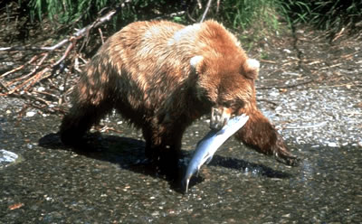 Grizzly Bears and Killer Whales at Knight Inlet Lodge, British Columbia.